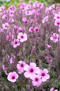 Geranium maderense - great for shady spots in frost free areas
