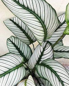 Lørdags-love 🌿 kom forbi og find din yndlings Calathea i Best Indoor Plants, Indoor Garden, Indoor Cactus, Foliage Plants, Potted Plants, Water Plants, Cactus Plants, Calathea Plant, Plantas Indoor