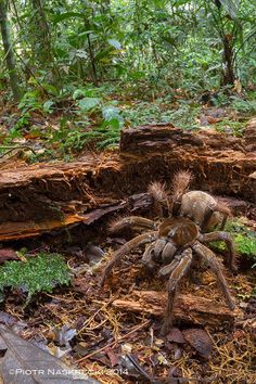 The South American Goliath birdeater, also known as the largest spider in the world. Each of its eight arms can span up to nearly a foot in length, usually making them about the size of a puppy.