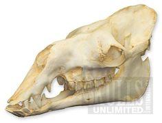 「鳥 頭蓋骨 イラスト」の画像検索結果
