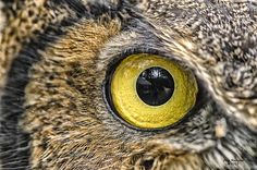 The intense look of the eye of a great horned owl in northern Michigan.