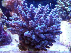 What Color Is Coral Reef | Guide of SPS coral coloration (make them more vivid, bright)