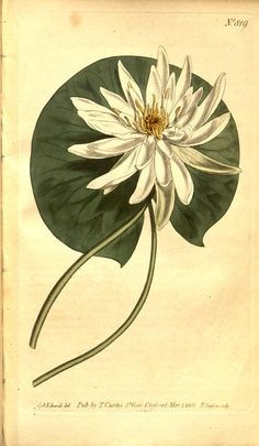 Sweet-scented Water Lily ~ Curtis's botanical magazine. (1801)