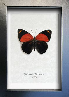 Red & Black Callicore Maimuna Real Butterflie From Peru Shadowbox by ButterfliesArtist on Etsy