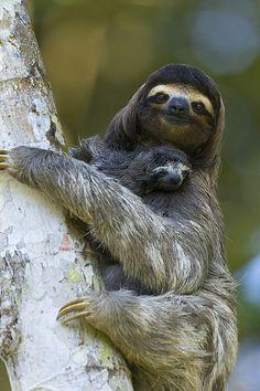 Preguiça-comum (Bradypus variegatus)