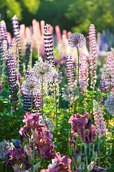 (LUPINUS POLYPHULLUS, ALLIUM AND IRIS IN COTTAGE GARDEN')  More images like this on my sweetest  board `Romantic garden`, gr AnMa Zine✿⊱╮  ~ Great pin! For Oahu architectural design visit http://ownerbuiltdesign.com