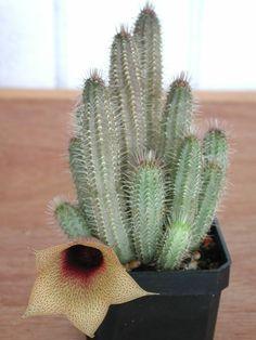 Tavaresia barklyi (Thimble Flower, Devil's Trumpet) → Plant characteristics and more photos at: http://www.worldofsucculents.com/?p=5507