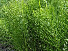 Equisetum fifteen species of rushlike conspicuously jointed perennial herbs, the only living genus of plants in the order Equisetales Healing Herbs, Medicinal Plants, Horse Tail Plant, Outdoor Plants, Outdoor Gardens, Vascular Plant, Edible Wild Plants, Herbs For Health, Wild Edibles