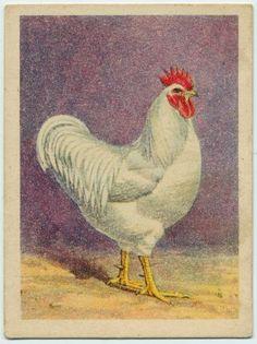 White Plymouth Rock cock.