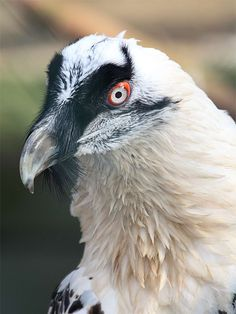 Бородач-ягнятник (Gypaetus barbatus)