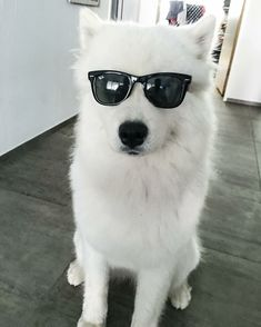 Samoyed dogs full grown faces. Funny samoyed dogs. Samoyed Dogs, Dalmatian Dogs, Chihuahua Dogs, Cute Puppies, Cute Dogs, Dogs And Puppies, Dog Facts, Dogs For Sale, Cairn Terrier