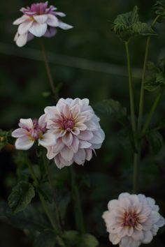 Lavender Jasmine Pearl dahlias growing at Love 'n Fresh Flowers.