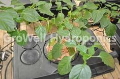 Plant Growing in an IWS RUSH System in GroWell Hydroponics Hockley Heath