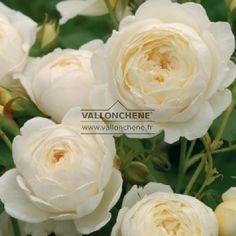 ROSA 'Claire Austin' à la pépinière Vallon Chêne.  Bcp d'autres plantes    peu communes.