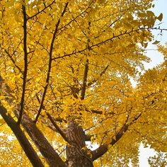 Ginkgo Tree for Sale | Fast Growing Trees