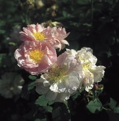 Celsiana.   To learn more about growing beautiful roses you can take a course with David Austin roses here http://www.my-garden-school.com/course/david-austins-growing-roses/
