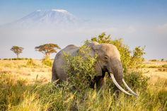 The gorgeous wildlife of planet Earth - February An African bush elephant seen with Mount Kilimanjaro in the backdrop. Elephant Wallpaper, Animal Wallpaper, Large Animals, Cute Animals, African Bush Elephant, Adventure Travel Companies, Deadly Animals, Mount Kilimanjaro, Wild Dogs