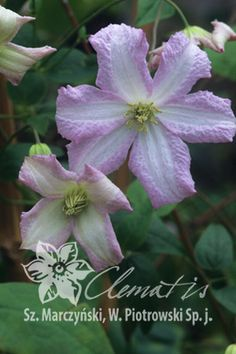 Clematis 'Little Nell'