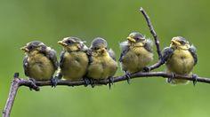 Bing Images - Blue Tit Chicks - Blue tit chicks fledging on a branch (© blickwinkel/Alamy)