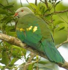 The Wompoo Fruit Dove (Ptilinopus magnificus), also known as Wompoo Pigeon, is one of the larger Fruit Doves native to New Guinea and Australia.