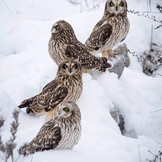 Wow, what a sight! This group of four short-eared owls was spotted hanging out in Indiana. Have you seen any lately? (Photo courtesy of Brendan Kearns) #owl #nature #wildlife #indiana via ✨ @padgram ✨(http://dl.padgram.com)