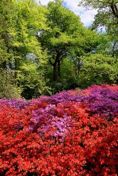 Richmond Park, London | Isabella Plantation, Richmond Park, London | Cool Scenic Albion Beautiful Places In The World, Places Around The World, Wonderful Places, Amazing Places, Gardens Of The World, Richmond Park, Royal Park, Greater London, Public Garden