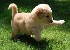 Labrodoodle Puppy