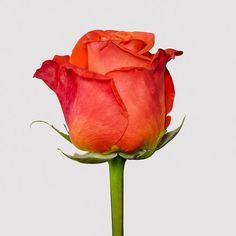 Orange Crush, Beautiful Roses, Crushes, Plants, Backgrounds, Every Rose, Amor, Roses, Flowers