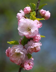 almond flowers: an Aaron's rod--an almond branch--budded and was kept in the Ark of the Covenant with the Two Tablets of the Covenant and a pot of manna--all pictures of the Promise to come--Jesus Christ, Messiah.