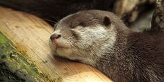 """Otter is """"logged"""" in for a nap"""