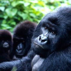 Did you know that, as of September 2016, the estimated number of mountain gorillas remaining in the world is about 880. Come visit Rwanda and enjoy one of a lifetime experience. #rwanda #africa #mountain #gorillas #travel #virunga #volcanoes