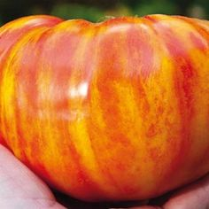Big Rainbow Tomato  One of my favorites.  Large meaty tomato, great for stewing.  GCB