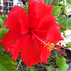 I believe this is a hibiscus flower and they are my absolute favorite :)