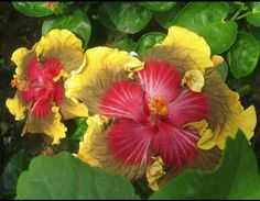 Strange Flowers, Rare Flowers, Amazing Flowers, Beautiful Flowers, Hibiscus Plant, Hibiscus Flowers, Unique Plants, Rare Plants, Hibiscus Rosa Sinensis