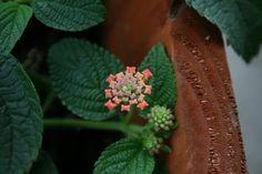 La perfección geométrica de la flor de la lantana.   Matemolivares