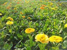 Calendula officinalis coltivazione scheda pianta esposizione concimazioni semina trapianto potatura malattie usi medicinali foto fiori simili a margherite