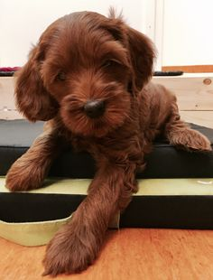 #labradoodle Hello, my name is Polly and I'm 6 weeks old.
