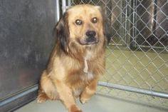 Sarplaninac/Chow Chow Mix: An adoptable dog in Lebanon, MO