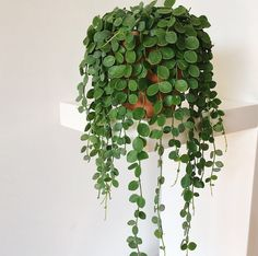 "ON MY ""MUST HAVE"" LIST!! String of Coins 953 Likes, 19 Comments - Eline (@thecottonplant) on Instagram: ""String of coins is growing sooo fast! I it! A lot of people ask me how I take care of this plant.…"""