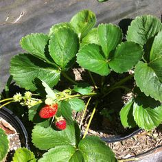 Growing strawberries in containers.