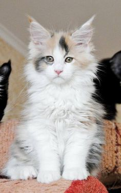 Coon Personality Traits What is a Maine Coon Cats Personality Like?What is a Maine Coon Cats Personality Like? Gato Maine, Maine Coon Kittens, I Love Cats, Crazy Cats, Cool Cats, Beautiful Cat Breeds, Beautiful Cats, Kittens Cutest, Cats And Kittens