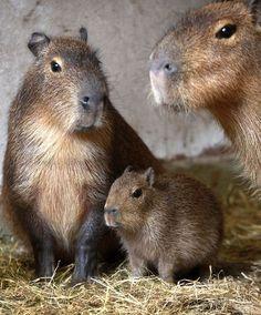 Baby capybara!