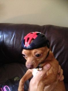 This tiny dog in a very tiny helmet. | 29 Things That Are Way More Important Than Work Right Now