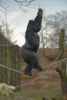A gorilla can balance like this and I can barely walk in a straight line.  Heck, I'm not even mad; that's amazing..