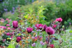 Claus Dalby - beautiful wine colored tulips.  I need to add these to my garden.