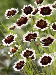 Coreopsis Jive - Ive never seen this one! It would be lovely in my Folly Garden, I think. - My Secret Garden Flower Beds, My Flower, Flower Power, Outdoor Plants, Garden Plants, Shade Garden, Vegetable Garden, Black Flowers, Beautiful Flowers