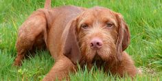 Wirehaired Vizsla Breed Information, Characteristics, Puppy Names