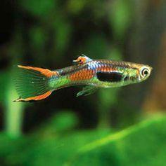 The guppy (Poecilia reticulata) is one of the most popular freshwater aquarium fish species in the world. Sea Aquarium, Nano Aquarium, Tropical Aquarium, Tropical Fish, Tropical Freshwater Fish, Freshwater Aquarium Fish, Guppy, Fish Tales, Fish For Sale