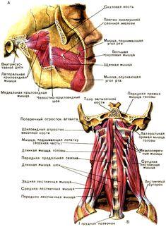 Глубокие мышцы лица (А) и шеи (Б). (Слева передняя лестничная мышца удалена) [1979 Курепина М М Воккен Г Г - Анатомия человека Атлас]