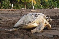 Tortuguero National Park, one of Costa Rica's most famous wildlife refuges, is best known for the thousands of turtles that flock to the beaches to lay their eggs each summer.